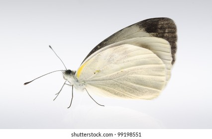insect small white butterfly isolated