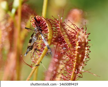 Insect stuck on the sticky leaves of a Drosera anglica great sundew plant