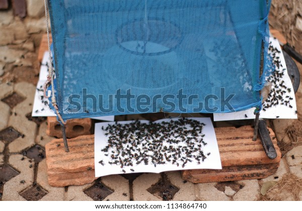 Insect trap and many flies on sticky paper