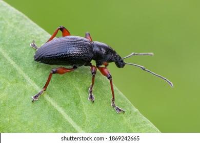 insect - weevil beetle - Otiorhynchus tenebricosus