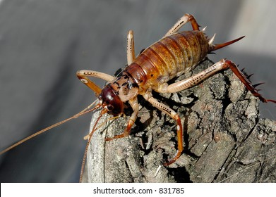 Insect - Weta