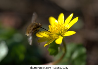 an insect, a wild bee at a yellow flower