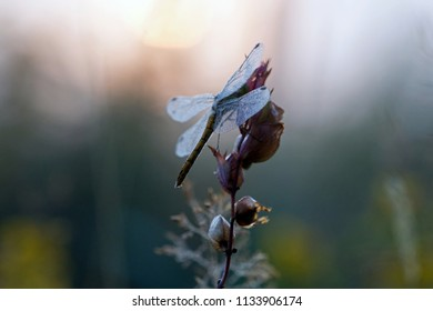 Insect yellow heather dragonfly, in morning dew in slightly rising sun at the Kremersdijkje in Alteveer, the Netherlands
