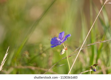 insect-eaten flowers of the cranesbill