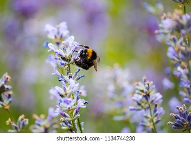 Insects Bumblebee Bombus