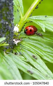 insects. ladybug. the macro