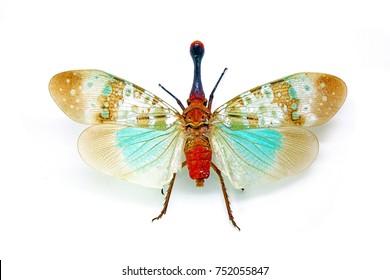 Insects : Lantern bug , Lanternfly or Fulgorid bug or planthopper : Blue lanternflies (Pyrops clavata mizunumai) isolated on white background.