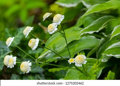 Insects on Feverfew plant with white yellow flowers during summer in Austria, Europe