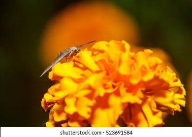 Insects  on Marigold flowers,Insects and flowers.