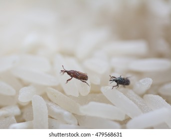 Insects that destroy rice grain