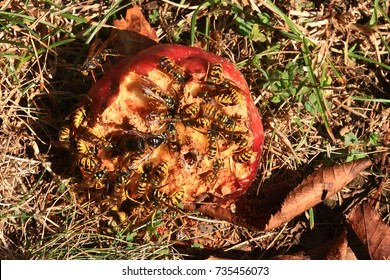 Insects Yellow Jackets and Bald Faced Hornet consuming (eating, drinking) red apple fruit on the ground