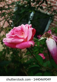 Insetcs love the small pink rose