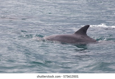 Inshore bottlenose dolphin cruising in the Indian Ocean along the Wild Coast of the Eastern Cape, South Africa