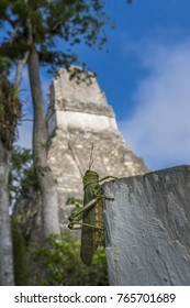 Inside the ancient city of Tikal, apart from the ancient history, you'll find a lot of wildlife! It's everywhere! Take this cool Grasshopper for example. It was on top of a pole photobombing one of my