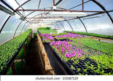 Inside arched plastic covered  greenhouse of garden center selling bedding plants.