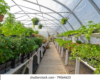 Inside commercial plastic covered horticulture greenhouse of garden center selling bedding plants.