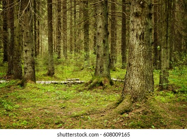 inside of the forest of spruces