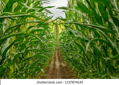 Inside of freshly cultivated maize field.