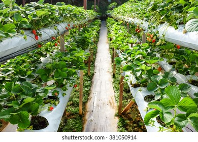 Inside indoor strawberry farm