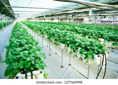 Inside modern strawberry farm in Korea. Industrial berry farming in a greenhouse.