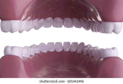 Inside mouth view of dental tooth model.