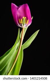 The inside of the purple tulip flower shoing the stamen pistil  bloom against black background.