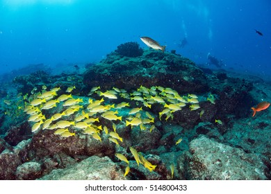 Inside a school of yellow grouper fish close up in the deep blue sea in cabo pulmo mexico national park