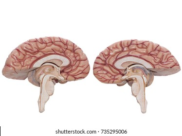 Inside view of human brain model isolated on the white background with clipping path