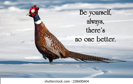 Inspirational quote on individuality by an unknown author, with a male ring necked pheasant proudly wearing his Christmas hat, strutting his stuff in the winter.