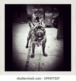 Instagram filtered image of a cute reverse brindle French Bulldog puppy outside in New York City. Black and white image.