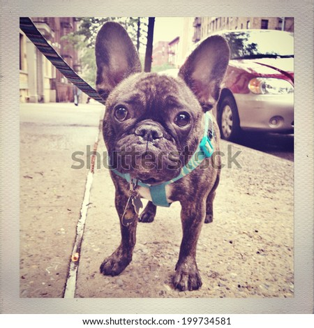 Instagram retro filtered image of a cute reverse brindle French Bulldog puppy outside in New York City.