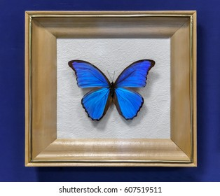 The instance of a large tropical butterfly Morpho didius , wingspan up to 150mm. Presented in a glazed frame.