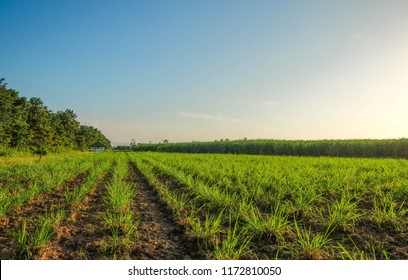 Integrated Farming System picture of hay field for feeding cattle in farm and sugar cane field at background in the evening sunset.