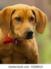 Intelligent Amber Hunting Hound Dog/ On Point