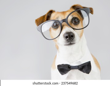 intelligent dog Jack Russell terrier with glasses ,bow tie and white collar. Gray background