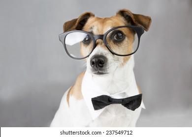 6af78661e7df intelligent dog Jack Russell terrier with glasses