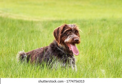Intelligent, eager to please, friendly, cheerful dog. Bohemian Wirehaired Pointing Griffon is a versatile gundog with a thick wiry coat. Hunting dog waiting for right moment to attack to victim.