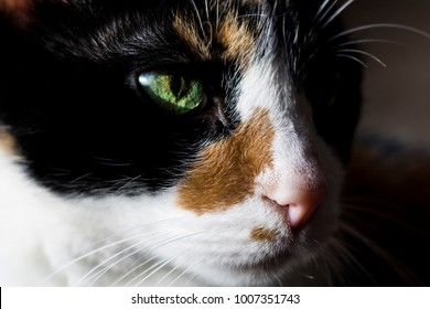 Intense Eye of a Calico Cat