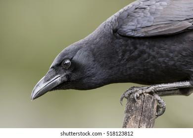 Intense Gaze of a Crow