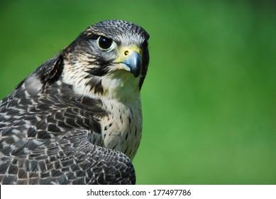Intense Hawk