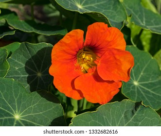 an intense orange nasturtium flower surrounded by leaves with radial spoked veins