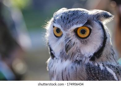 Intense Owl
