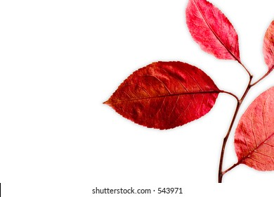 Intense red leaves on white background