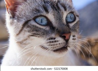 intense stare of a bright blue eyed tabby siamese cat