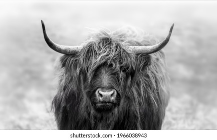 Intense stare game with this young scottish highlander. Shot on a cold morning. In The Netherlands