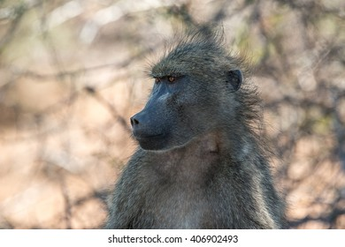 An intense stare of a male chacma baboon in Kruger National Park, South Africa.