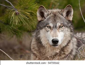 Intense Timber Wolf (Canis lupus) Sits Under Pine - captive animal
