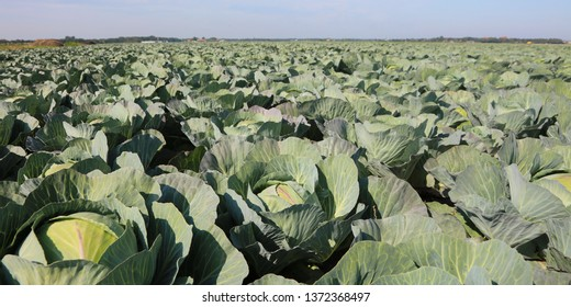 intensive agriculture of green cabbages in northern Europe