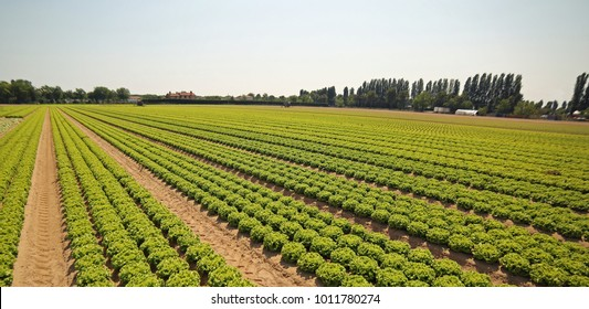 intensive cultivation of green lettuce in soil made fertile by the sand