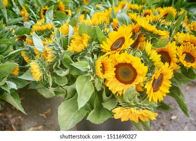 Intensive flowers cultivation in Bavaria: bright sunflower heads harvested in summer and ready for the floral market